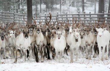 sami reindeer park